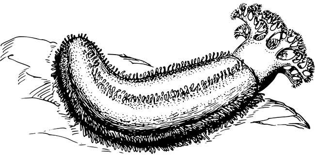 Морской огурец, он же голотурия. Однокоренной со словом холистический.